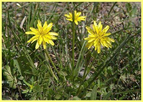 Скорцонера вирощування: фото і відео