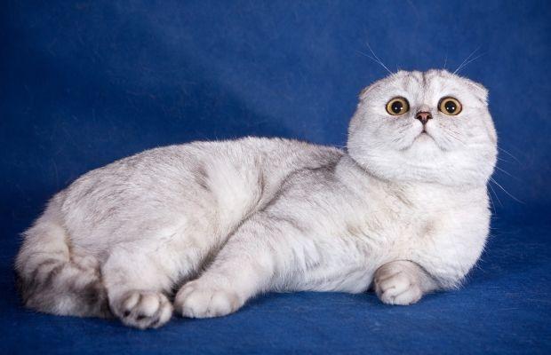 кішки скоттиш фолд фото, кішки породи скоттиш фолд фото