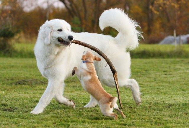 Словацька чувач грається з дрібної собачкою