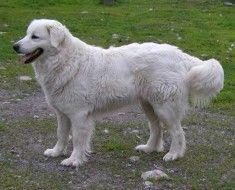 Пес породи словацький чувач