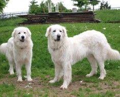 Дві собаки словацького чувача