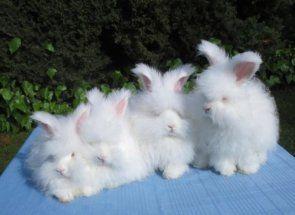 Немов маленький плюшевий зай - ангорський кролик!