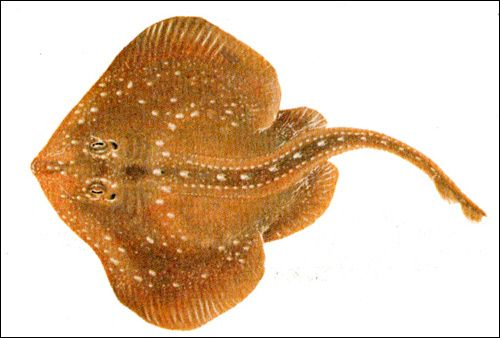 Зірчастий скат (Raja radiata), Малюнок картинка риби