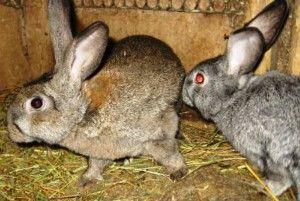 Злучка кролиці після окролу: терміни і технології
