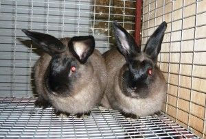 Злучка кроликів: коли можна починати?
