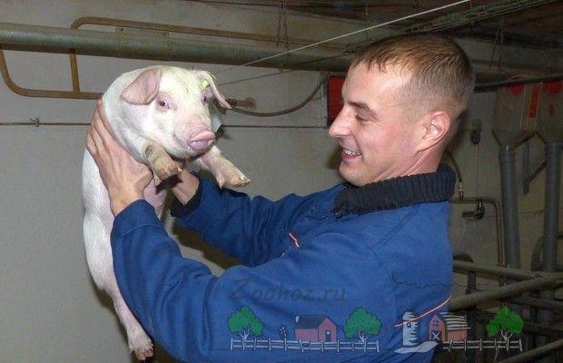Злучка свиней: всі тонкощі успішного розведення