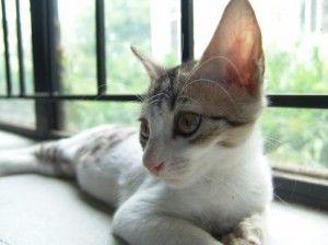 Слух кішки