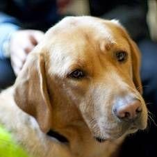 Собака-поводир: історія, навчання і допомогу