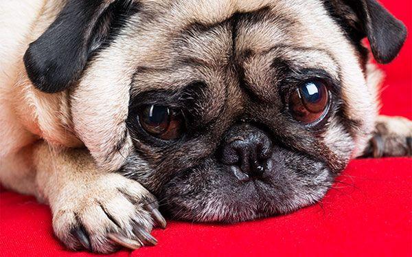 Собаки, у яких випадають очі: особливості проптоза