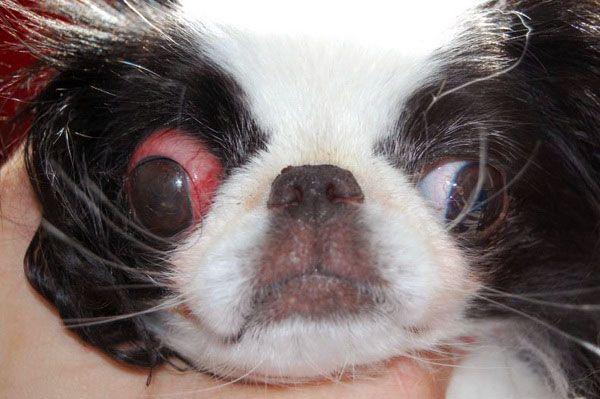 у собаки випадають очі