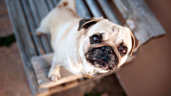 Лікування проптоза у собак