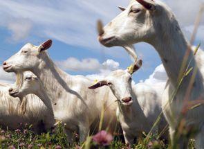 Зміст і доїння молочних кіз