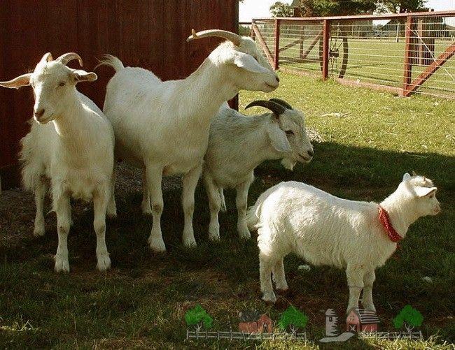 Зміст і розведення домашніх кіз