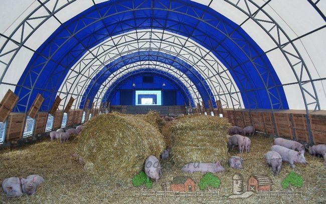 Зміст і розведення свиней за канадською технологією