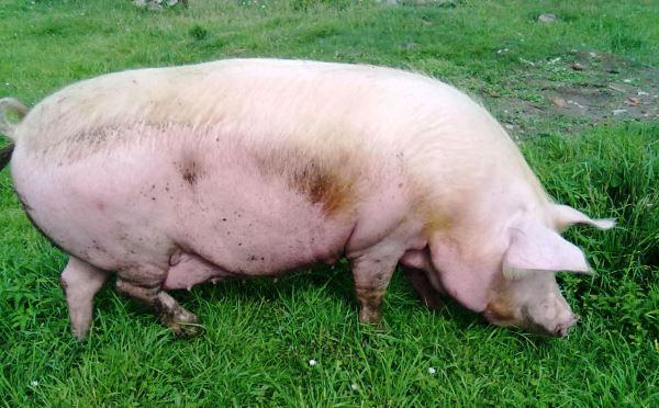Зміст і догляд за супоросной свиноматкою