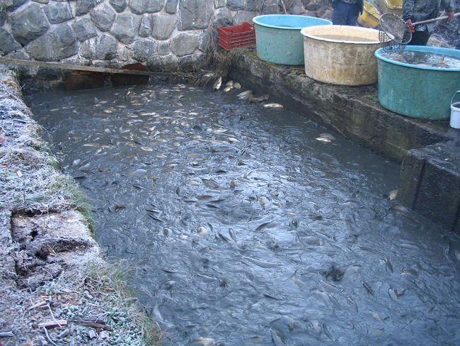Зміст і вирощування риби
