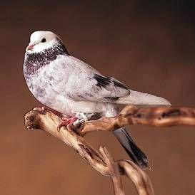 Зміст поштових голубів в домашніх умовах