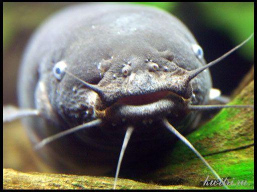 хижі акваріумні соми