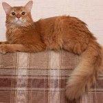Сомалійський кіт