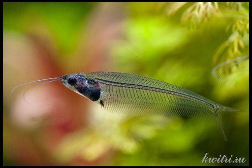 Сомик скляний індійський, або риба-привид
