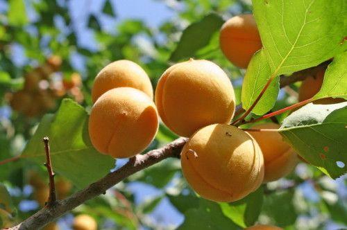 Сорти абрикос фото з назвою та описом