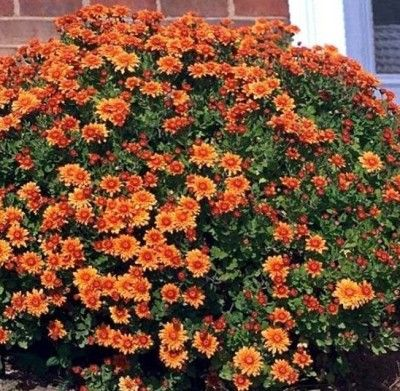Сорти хризантем з фото і назвами