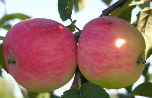 Сорти яблунь фото з назвою та описом
