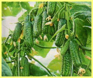 Сорти огірків з фото і описом