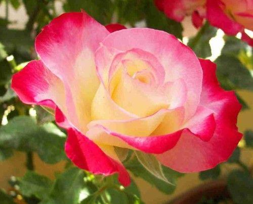 Сорти троянд з фото і назвами