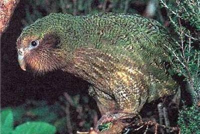 Совині попугаіstrigopinae