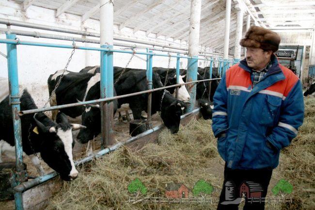 Корови на міні-фермі