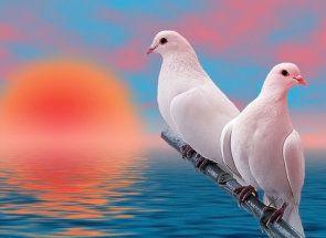 Парування голубів: тонкощі розмноження