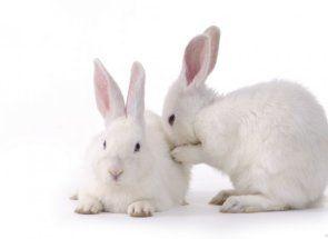 Парування кроликів - все найцінніше і цікаве