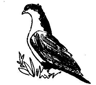 Спартак (голуби)