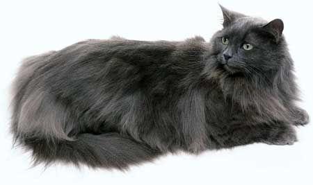 Суцільні і затушовані забарвлення норвезької лісової кішки.