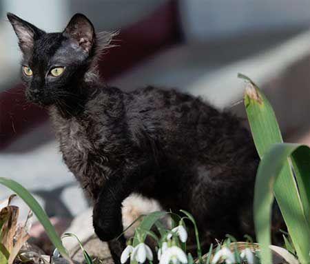 Суцільні, затушёванние і димчасті забарвлення кішок лаперм.