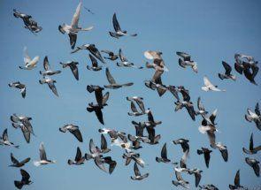 Спорт і голуби - абсолютно сумісні речі