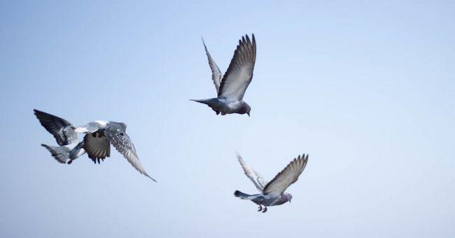 Три спортивних голуба в польоті