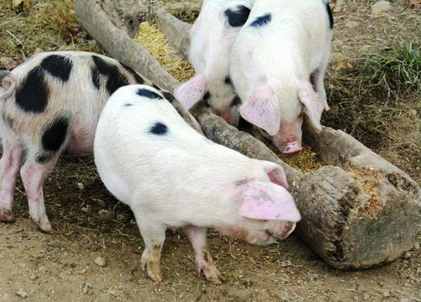 Способи утримання свиней в домашніх господарствах