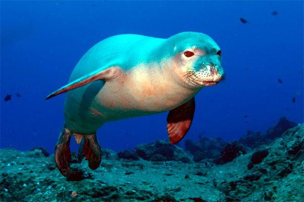Середземноморський тюлень-чернець, або белобрюхий тюлень (monachus monachus)