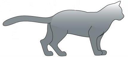 Корат кішка. тіло