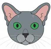 Російська Блакитна кішка. морда