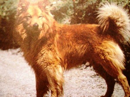 Старонімецькі пасту¬шьі собаки