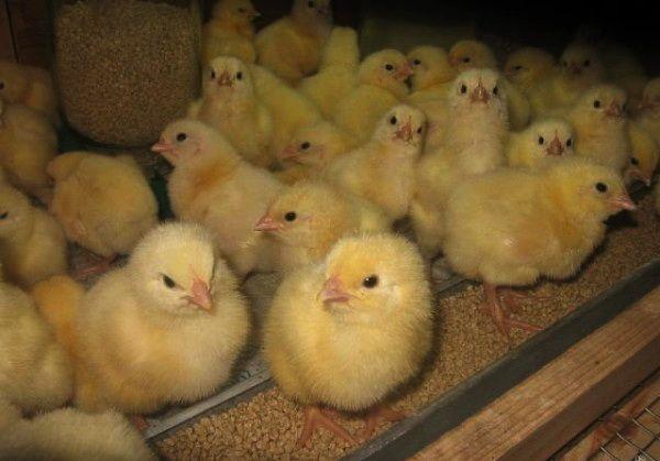 Курчата тижневі в годівниці