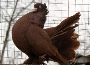 Статні голуби - красива, горда постава і витончена форма тіла