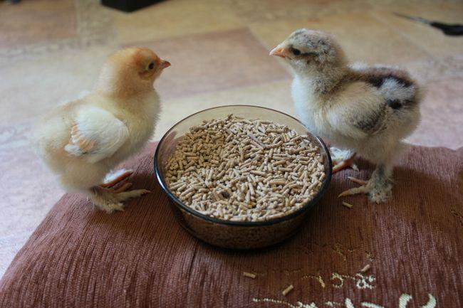 Курчата клюють корм з чашки