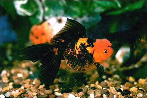 Мандрівні риби