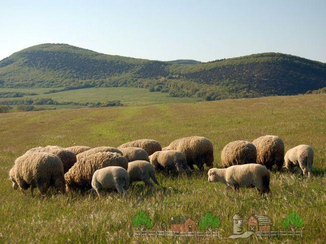 Країни-лідери за мировою вівчарства
