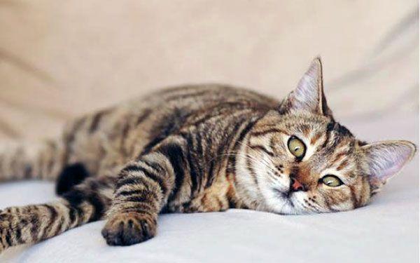 Стрес у кішки: чому виникає, симптоми, методи лікування
