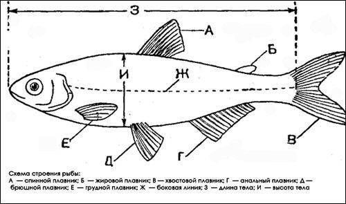 Будова хордової тварини на прикладі риби